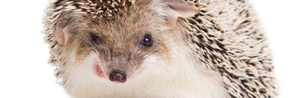 Hedgehogs – A Prickly Pair