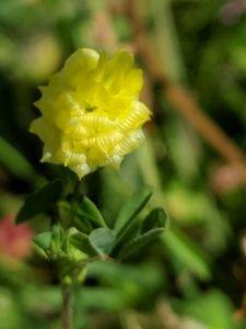 Hop Trefoil (Trifolium campestre)