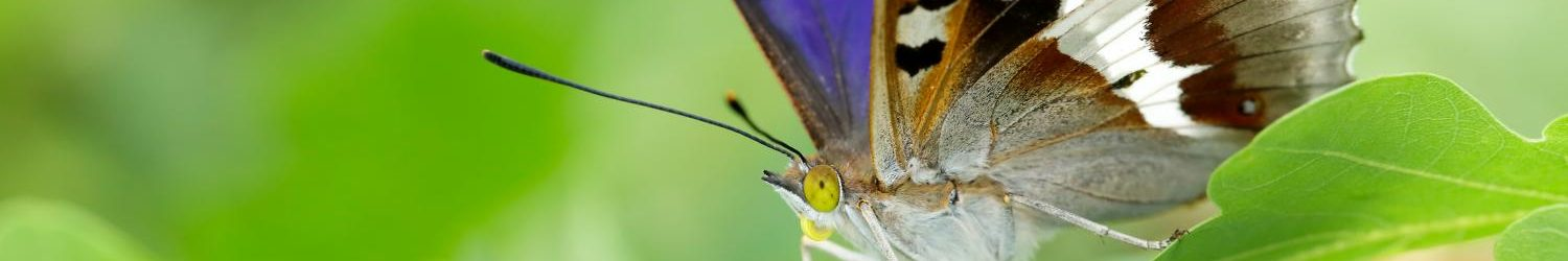 Illustrated talk – Purple Emperor (and other butterflies)